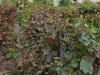 Le coup de gueule d'une viticultrice de la Côte Chalonnaise