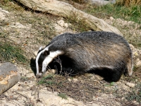 L'Entente naturaliste de Bourgogne demande au Préfet d'abroger l'autorisation de déterrer les blaireaux
