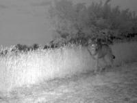 «Un SNIPER abat le loup de Saône-et-Loire, acharnement sur le grand carnivore sauvage !» estime l'association dijonnaise Combactive