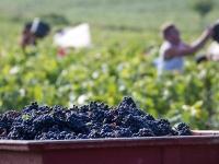 VENDANGES : Retour à des dates classiques en Bourgogne