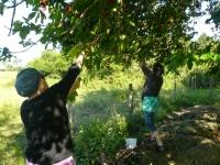 Votre jardin déborde de fruits ou légumes ? des bénévoles viennent les ramasser