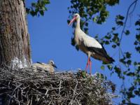 Une belle colonie de cigognes au sud de Chalon sur Saône