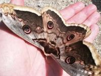 Le plus grand papillon d'Europe observé à Mercurey