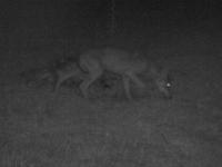 Le loup du Clunisois a été abattu ce lundi soir informe la Préfecture de Saône et Loire