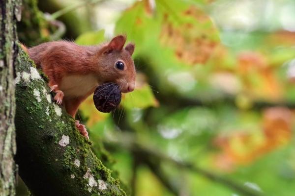 Enquête sur l'écureuil roux en Bourgogne
